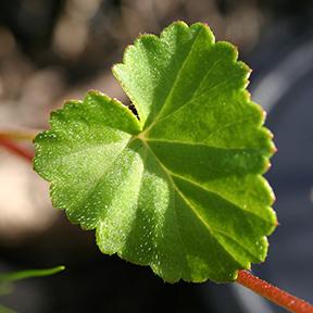 Leaf of Pelargonium setulosum