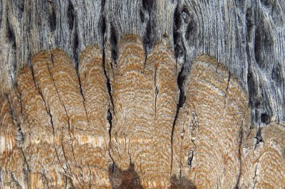 cross section of weathered desert tree